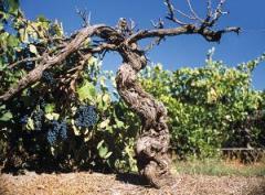 Dead Arm Vine